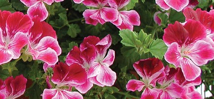 angelska pelargonija 2