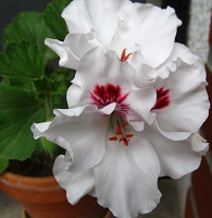 pelargonija regalka 1
